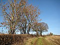 Ash trees by a footpath - geograph.org.uk - 1072693.jpg