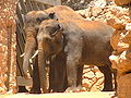 Asian Elephants-Biblical Zoo.JPG
