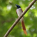 Asian Paradise Flycatcher (Terpsiphone paradisi)- male W IMG 9283.jpg