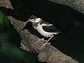 Asian Pied Starling (Sturnus contra)- Juvenile in Kolkata I IMG 8812.jpg