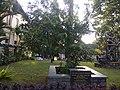 Askhoka tree planted by Dr APJ Abdul Kalam at UC College Campus IMG 20180821 174322.jpg