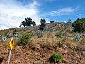 Asparagales - Agave tequilana - 9.jpg