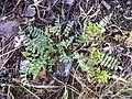 Astragalus alpinus plant small 1 AB.jpg