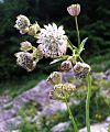Astrantia major a1.jpg