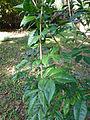 Ateriya-Murraya paniculata-Sri Lanka (2).jpg