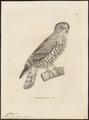 Athene hirsuta - 1700-1880 - Print - Iconographia Zoologica - Special Collections University of Amsterdam - UBA01 IZ18400045.tif