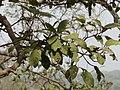 Atti (Telugu- అత్తి) (2442598693).jpg