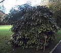 Aucuba japonica (aucuba du Japon).JPG
