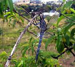 Aust blue dragonfly02 adjusted.jpg
