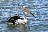 Australian Pelican-St Helens-Tasmania02.jpg