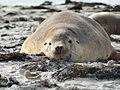 Australian sea lion 03.JPG