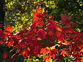 Autumn Leaves, 2015-10-10, 01.jpg