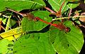 Autumn Meadowhawks, in tandem position.jpg