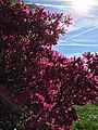 Azalea Beauty Full nature 2.jpg