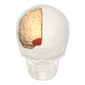 BA17 Primary visual cortex - posterior view.png
