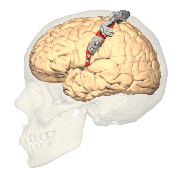 File:BA312 - Primary Somatosensory Cortex - lateral view - with homunculus.png
