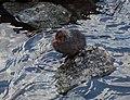 Baby Eurasian coot on Djurgarden (52270).jpg