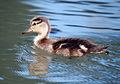 Baby duck 2 (3589891340).jpg