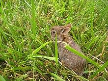 Rabbit - Simple English Wikipedia, the free encyclopedia