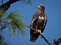 Bald Eagle-27527-14.jpg