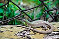 Balkan Green Lizard 1.JPG