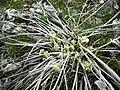 Balsamorhiza sagittata 8.jpg