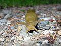 Banana Slug - Flickr - GregTheBusker.jpg