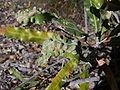 Banksia disease 2 gnangarra.jpg