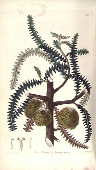 Banksia dryandroides - Edwin Dalton Smith's engraving of B. dryandroides, accompanying the original publication of the species in Robert Sweet's 1828 Flora Australasica.