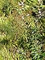 Banksia integrifolia L.f. (AM AK296944-1).jpg