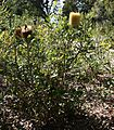 Banksia media.jpg