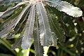 Banksia serrata 6zz.jpg