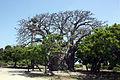 Baobab (Adansonia digitata), Neduntheevu.JPG