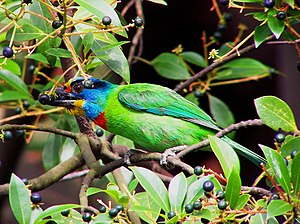 Asian barbet - As in most species, fruit constitutes a large part of the diet of the black-browed barbet.