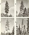 Bark beetle risk in mature ponderosa pine forests in western Montana (1972) (20166789839).jpg