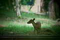 Barking Deer.jpg
