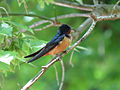 Barn Swallow (14295127030).jpg