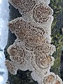 Basidioradulum radula 109367501.jpg