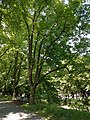 Baum am Herrenteichswall-ND-OS-S 04.jpg