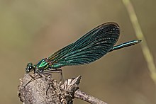 Beautiful demoiselle (Calopteryx virgo) male 3.jpg
