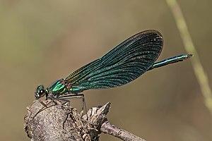 Beautiful demoiselle (Calopteryx virgo) male 3.jpg