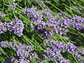 Bee on Lavendula.jpg