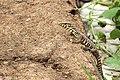 Bengal Monitor (Varanus bengalensis) Juvenile. (28230373818).jpg