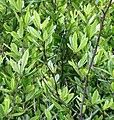 Berberis sieboldii (fruits s10).jpg