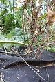 Berberis thunbergii tetranychus 003.jpg