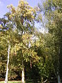 Betula ermanii 'Holland' 01-10-2005 14.58.00.JPG