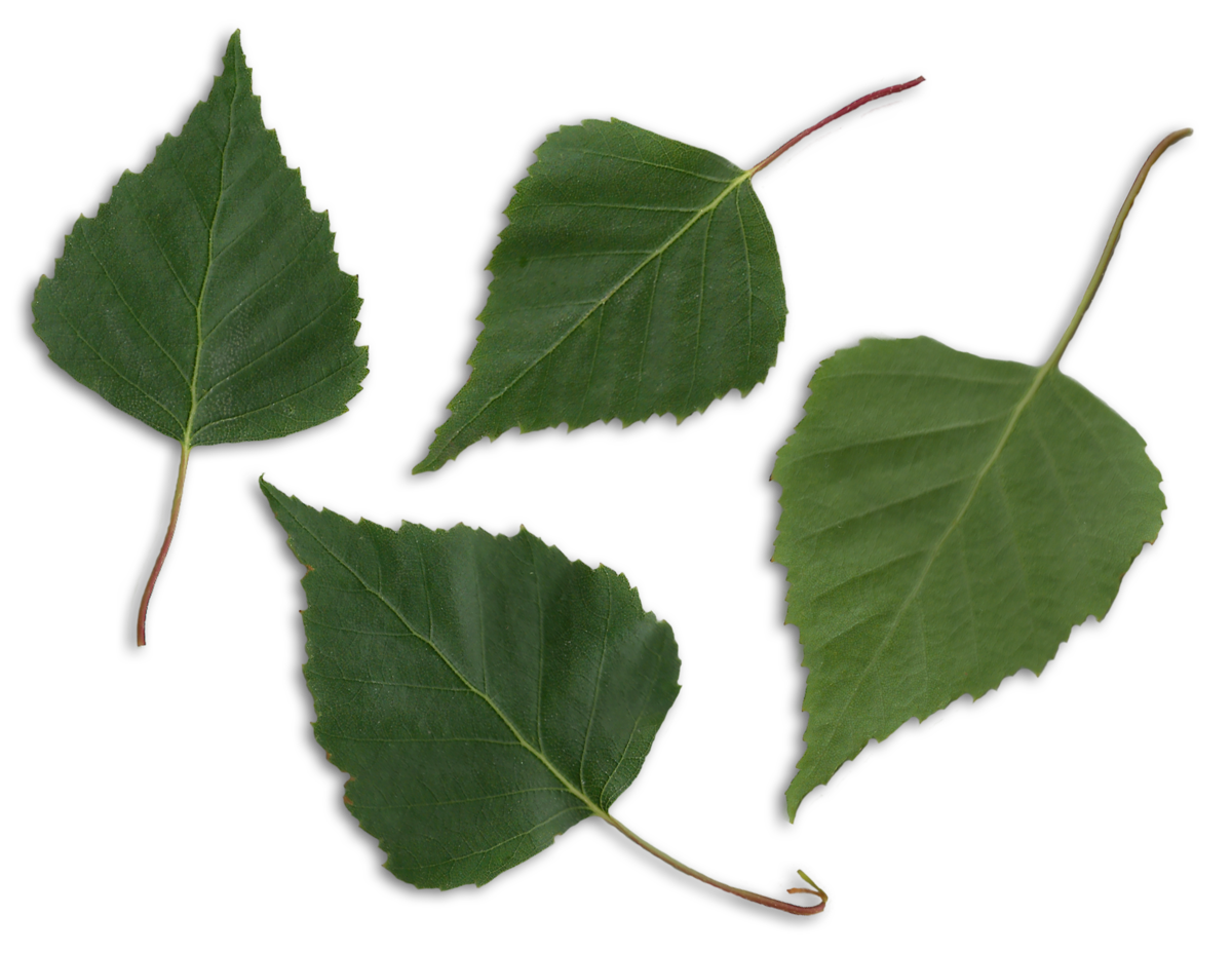 File:Betula pendula scanned leaves.png - Wikimedia Commons