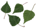 Betula pendula scanned leaves.png