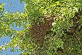 Bienenschwarm 20c.jpg