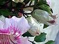 Bignonia ricasoliana FlowerandBlossom Closeup TorreLaMata.jpg